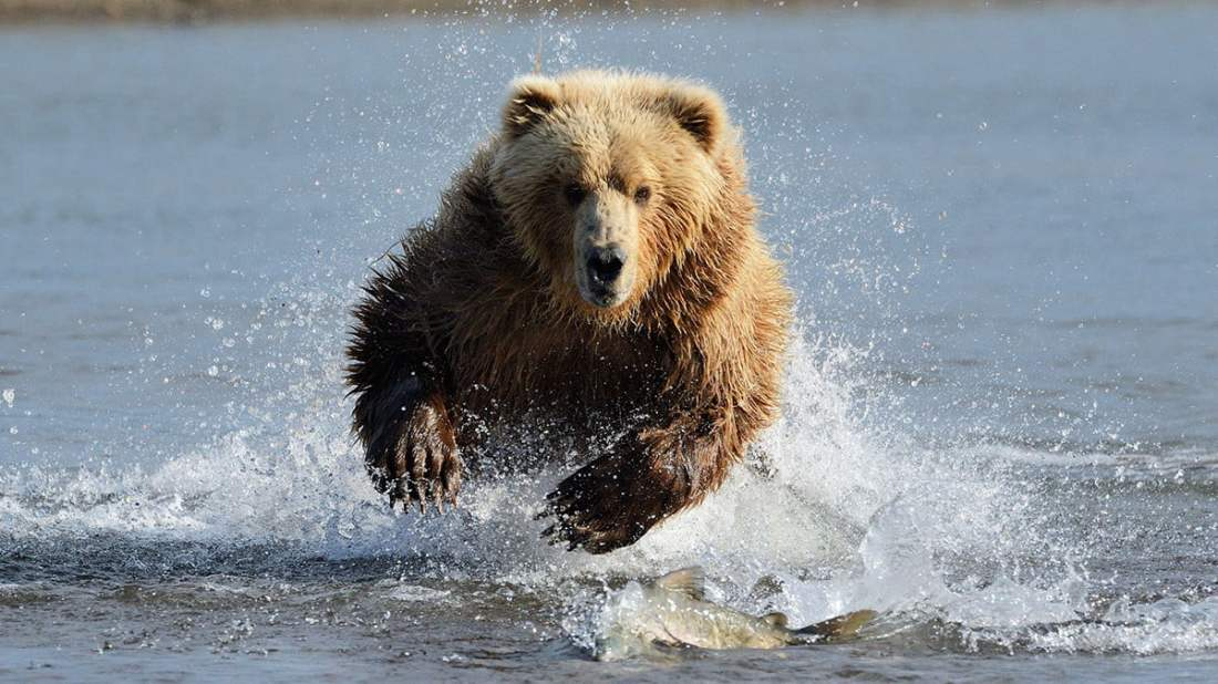grizzly-bear-attacking-fish