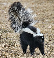220px-skunk_about_to_spray