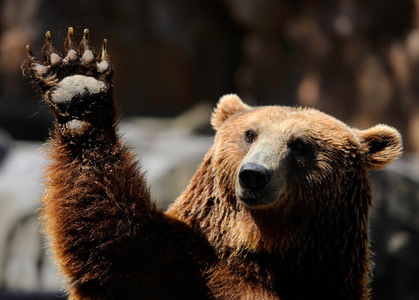 A grizzly bear waves at Madrid's zoo on